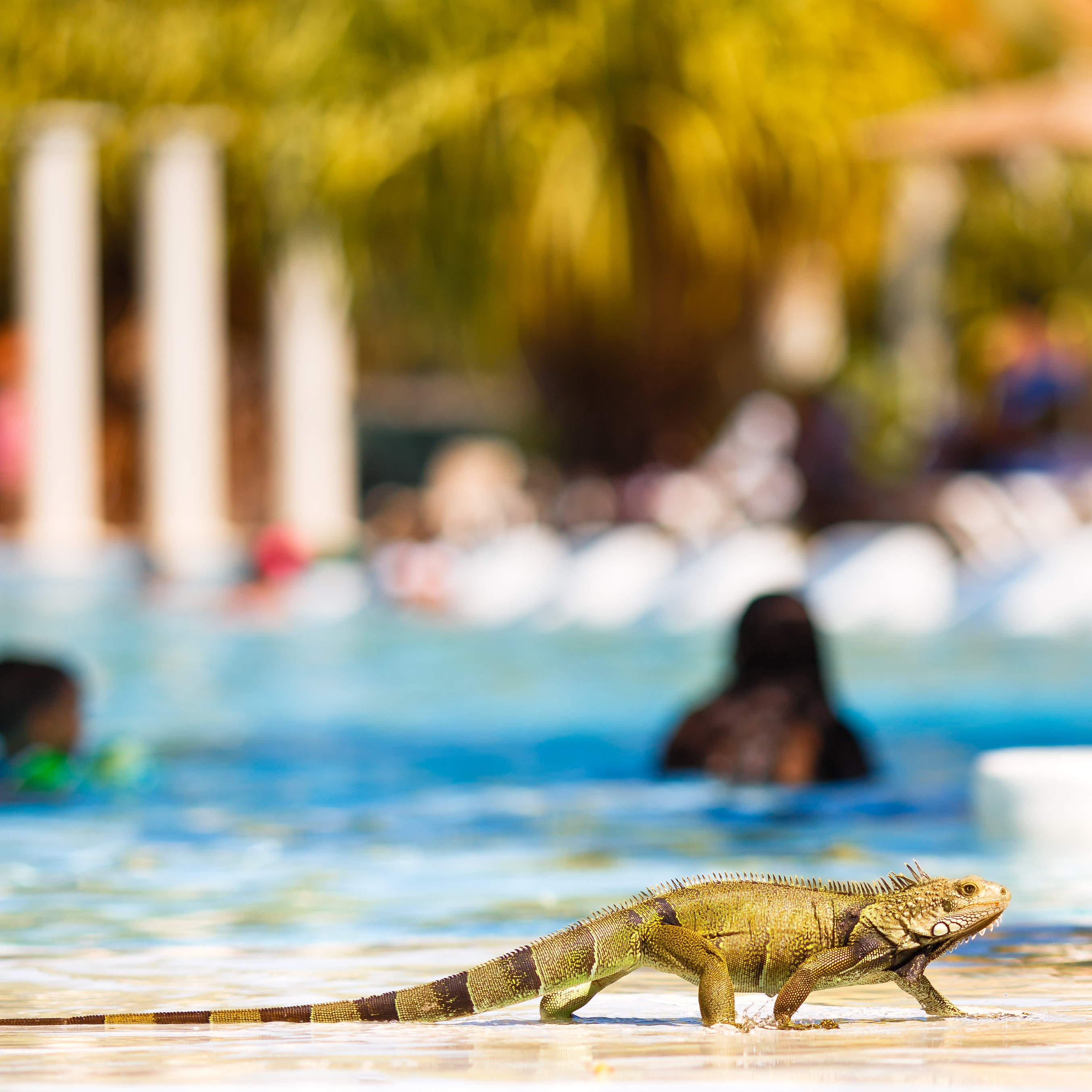 Iguana am Pool Curacao